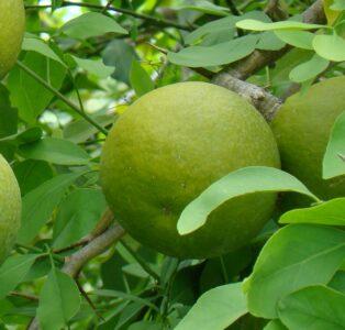 Яблоки Шивы